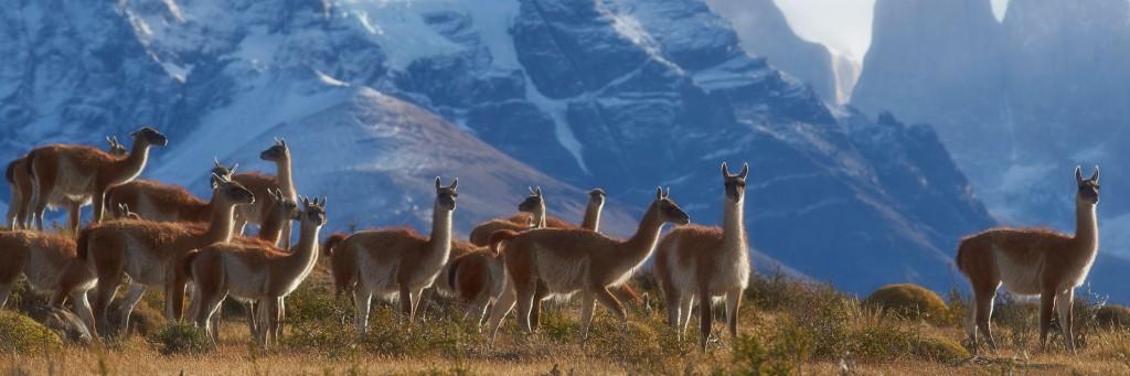 chile-llamas-torres-del-paine